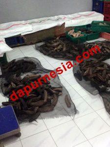 Jual Teripang Nanas (Duri Nanas), 100% Best Quality, Surabaya